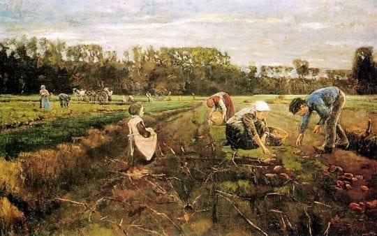 картошка на поле