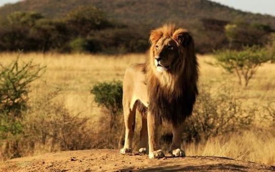 лев в саване