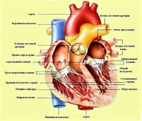 сердце устройство