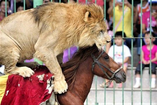 тигры и лошади