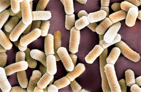 лакто бактерии