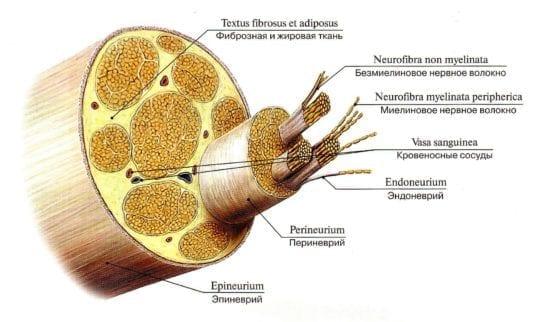 периферический нерв