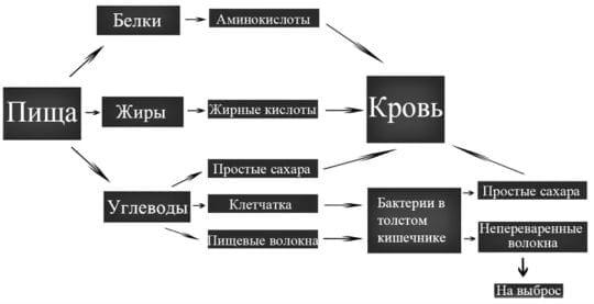 схема пищеварения