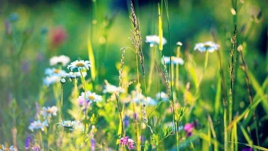 ромашки и травы